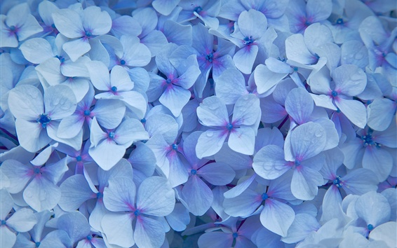 Wallpaper Blue hydrangea flowers, petals, water droplets