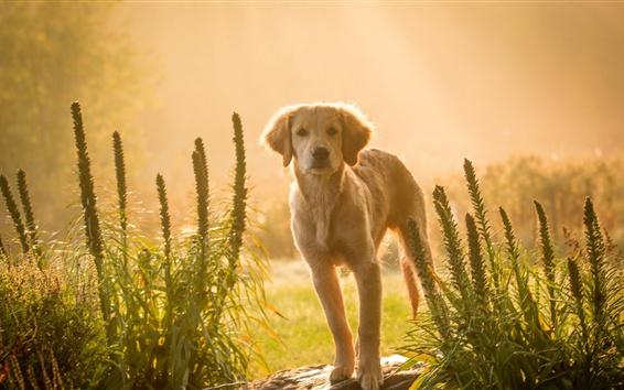Wallpaper Brown dog at sunset, look, grass