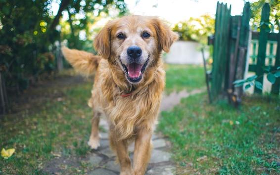 Обои Коричневая собака, вид спереди, пушистый
