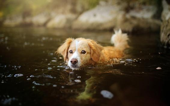 壁紙 茶色の子犬は水で泳ぐ