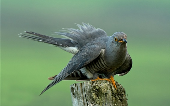 Wallpaper Cuckoo, bird, stump