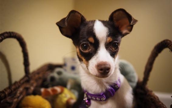 Papéis de Parede Cão bonito, cesto, animal de estimação