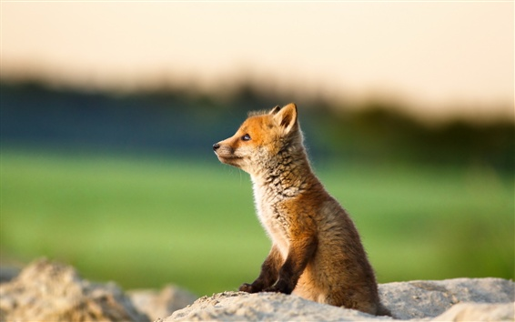 Wallpaper Cute fox look at the distance