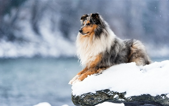 Обои Собака зимой, снег, холод