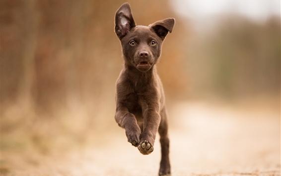Papéis de Parede Cão correndo, marrom