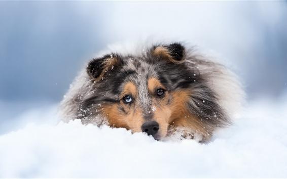 Papéis de Parede Dog sleep in snow, front view