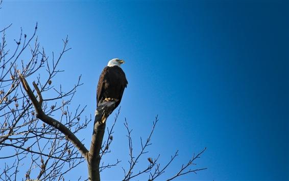 Papéis de Parede Águia, pássaro, céu azul