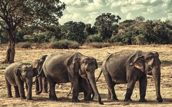 Papéis de Parede Família dos elefantes, Sri Lanka, Parque Nacional Minneriya