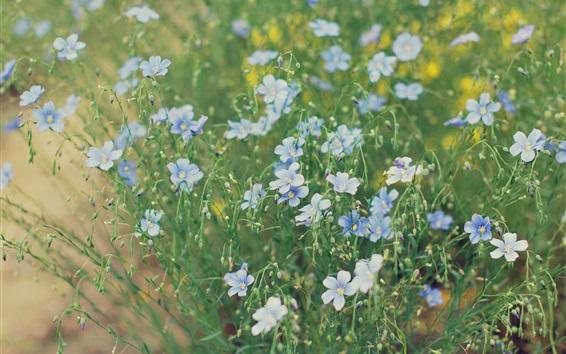 Wallpaper Flower field, little blue flowers