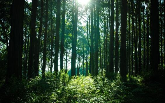 Обои Лес, деревья, солнечные лучи, зеленый