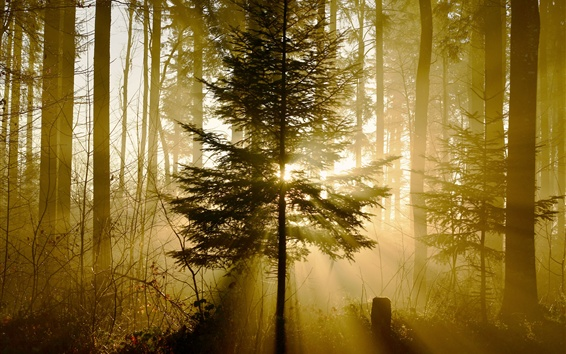 Wallpaper Forest, trees, sun rays, nature