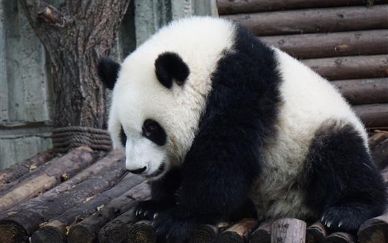 Fond d'écran Panda velu, charmant