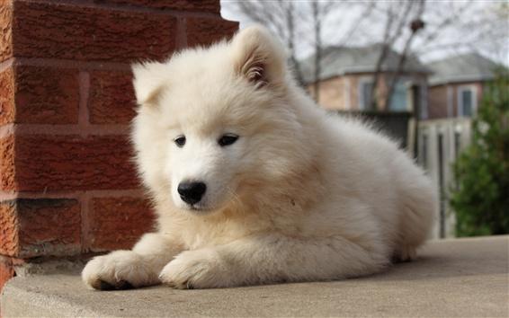 Papéis de Parede Visão de frente de cachorro branco peludo, olhar