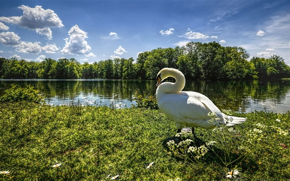 Papéis de Parede Ganso, cisne, grama, árvores, lago