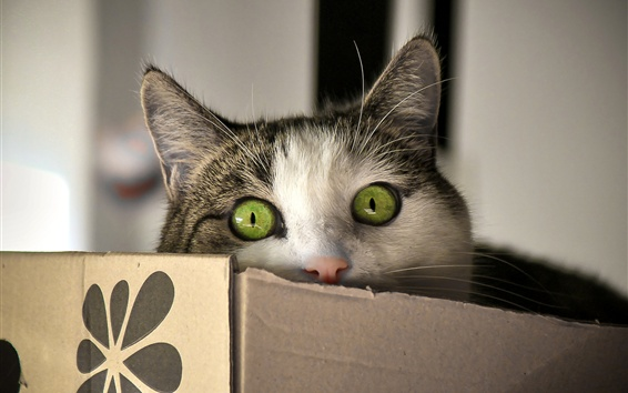 배경 화면 녹색 눈 고양이 모양, 상자