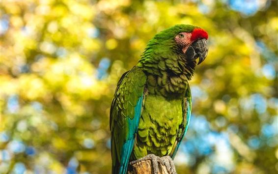 Papéis de Parede Papagaio verde, coto, fundo desfocado