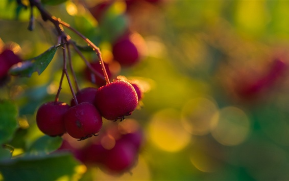 Wallpaper Hawthorn, red fruit, fresh
