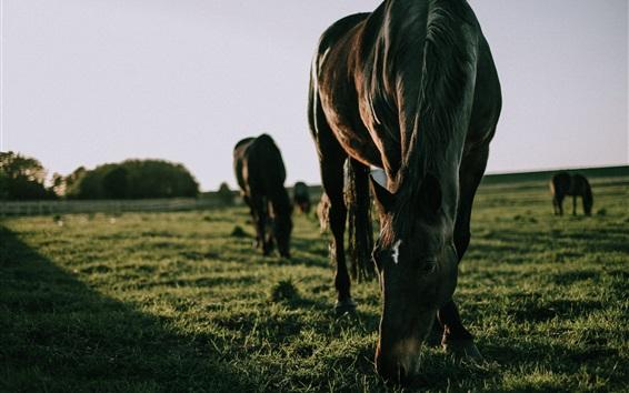 Wallpaper Horses eat grass, feeding