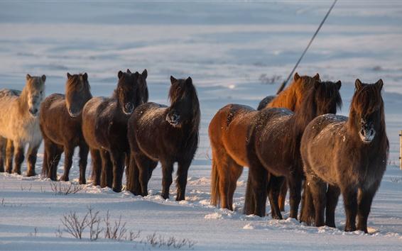 Papéis de Parede Cavalos, neve, inverno, Islândia