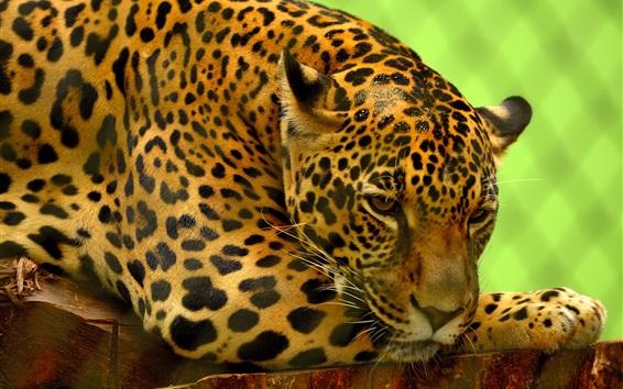 Papéis de Parede Descanso Jaguar, zoológico