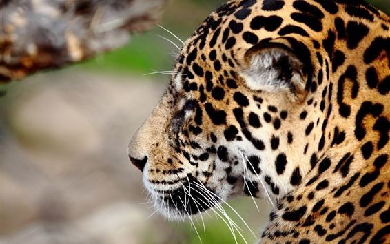 Wallpaper Jaguar, wildlife, face, side view