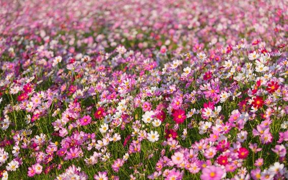 배경 화면 Kosmeya, 꽃, 꽃잎, 들판