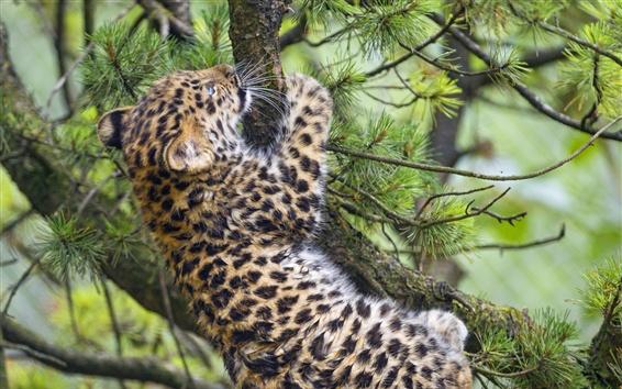 Papéis de Parede Leopardo filhote