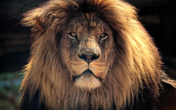 Papéis de Parede Vista frontal do leão, juba, rei