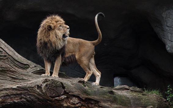 Papéis de Parede Leão olha para trás, gato grande