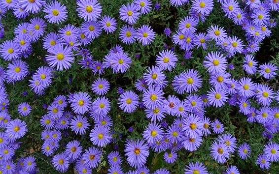 Wallpaper Many blue aster flowers