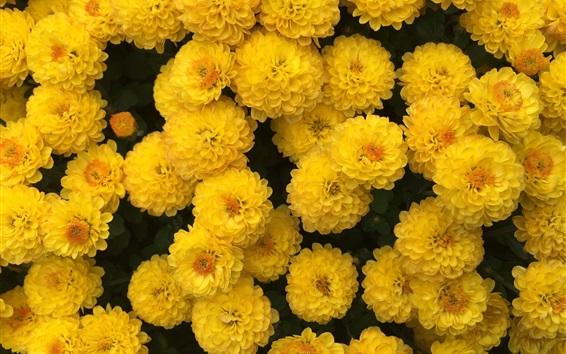 Papéis de Parede Muitas flores amarelas de crisântemos