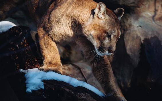 Papéis de Parede Leão de montanha, gato selvagem, neve