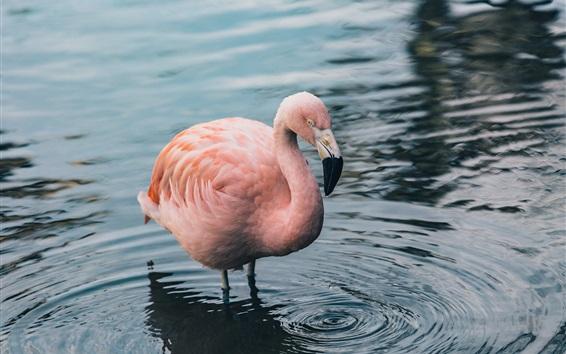 Обои Один фламинго, стоящий в воде