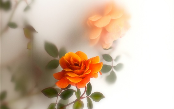 Wallpaper Orange rose flowers, white background