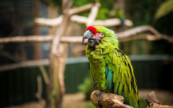 Papéis de Parede Papagaio, pássaro de penas verdes