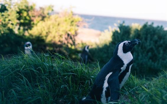 Wallpaper Penguin in the grass