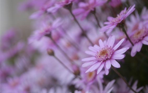 Wallpaper Pink chamomile flowers, bokeh