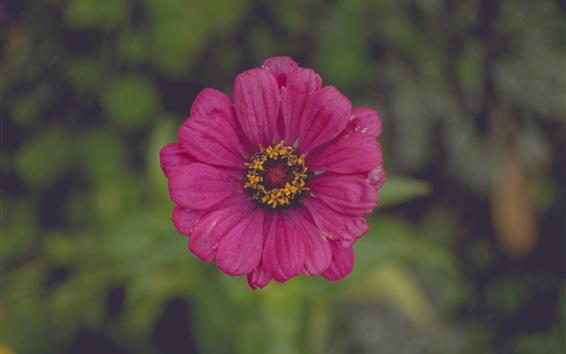 Wallpaper Pink flower close-up, petals, bokeh