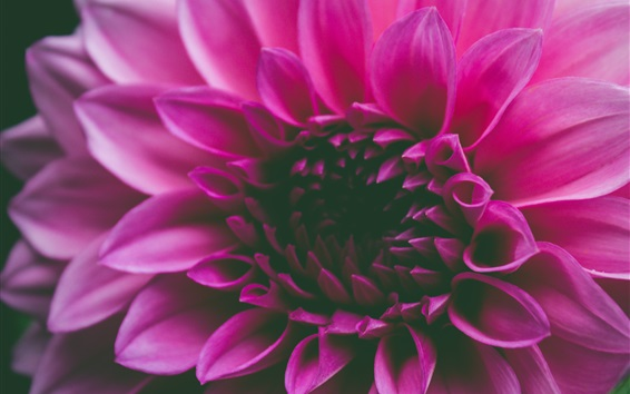 Fond d'écran Macro de fleurs pétales roses