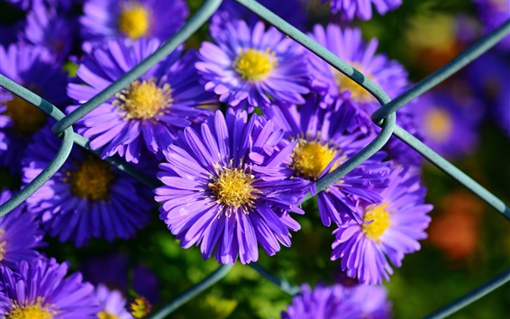 Wallpaper Purple petals, aster, flowers