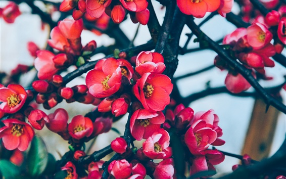 Wallpaper Red plum flowers bloom, tree, twigs, spring