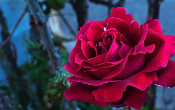 Wallpaper Red rose close-up, petals
