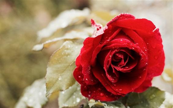 Papéis de Parede Rosa vermelha, gotas de água, folhas