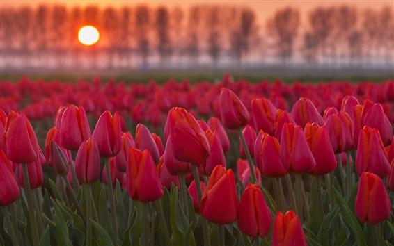 Fondos de pantalla Flores rojas de los tulipanes en la puesta del sol