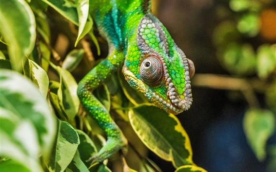 Wallpaper Reptile, chameleon lizard