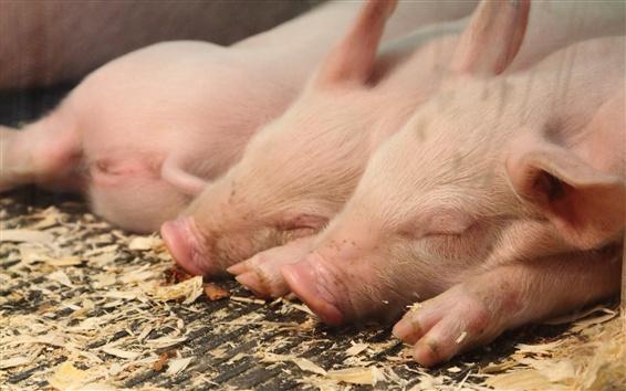 Fond d'écran Porcs endormis