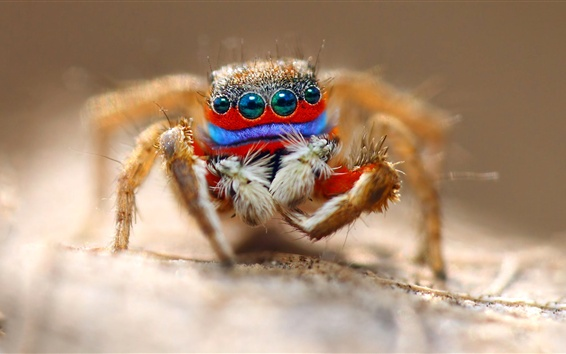 Spider macro photography, eyes, insect Wallpaper Preview