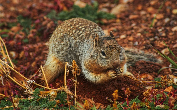 Wallpaper Squirrel at ground