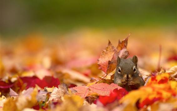 Papéis de Parede Esquilo, folhas de bordo vermelhas, outono