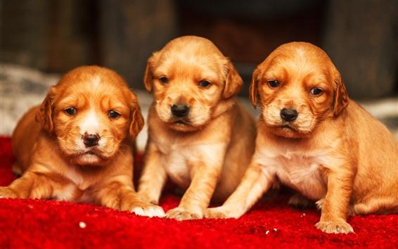Papéis de Parede Três cachorros bonitos, Golden Retriever